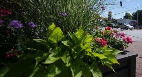 Grodzisk rozdaje pelargonie - Grodzisk News