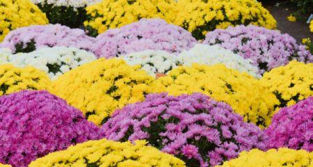 Zaopiekuj się chryzantemą – odbierz ją za darmo - Grodzisk News