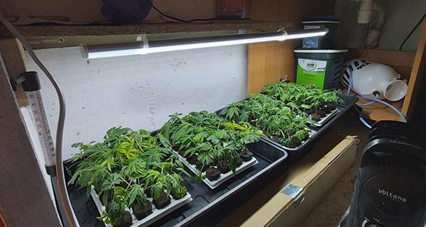 Policyjny nalot na plantację marihuany w powiecie grodziskim - Grodzisk News