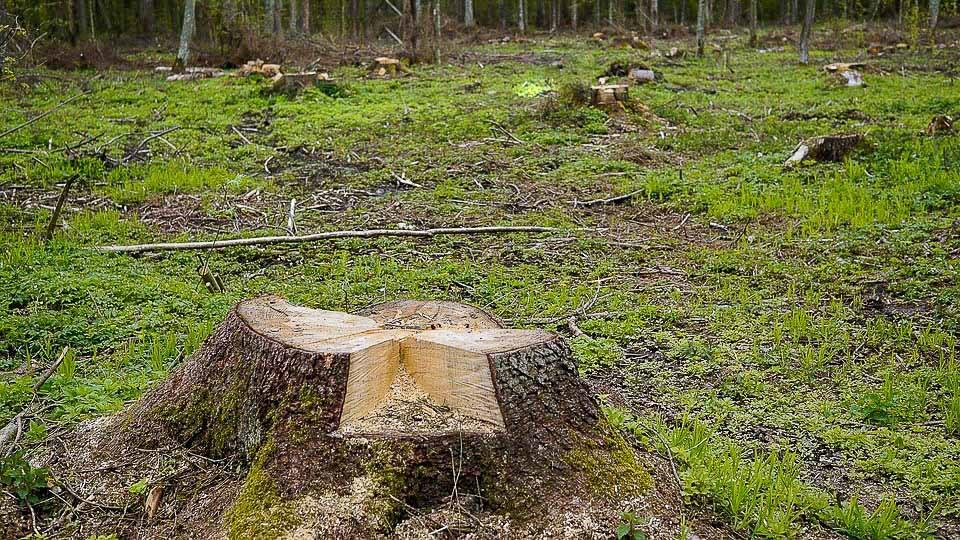Mieszkańcy Kłudzienka też chcą wycinki suchych topoli - Grodzisk News