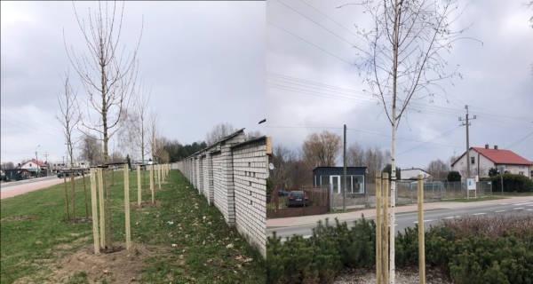 Grodzisk zasadzi ponad dwieście kolejnych drzew - Grodzisk News