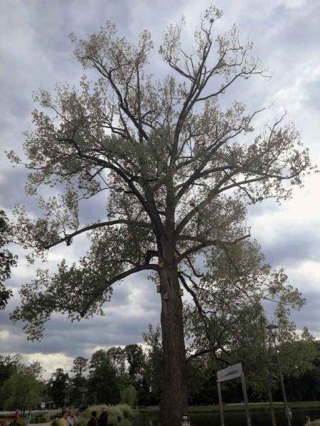 Ogromna gałąź runęła na ziemię. Drzewo do wycinki - Grodzisk News