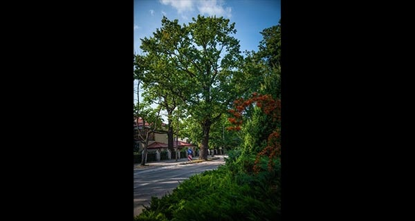 """""""Drzewo roku"""" w mieście ogrodzie? Milanówek powalczy o tytuł, mieszkańcy wybiorą kandydata - Grodzisk News"""