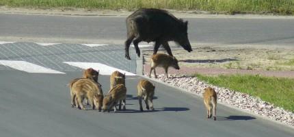 Dzikie zwierzęta zagrożeniem na drodze