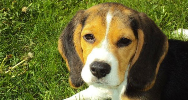 Rusza gminna akcja szczepień psów przeciwko wściekliźnie