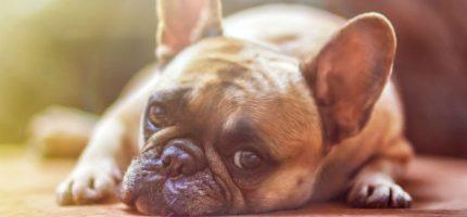 Grodzisk zaszczepi kilka tysięcy psów