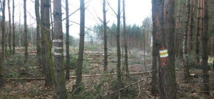 Nielegalna wycinka drzew w jaktorowskiej gminie? Włodarze zawiadamiają prokuraturę