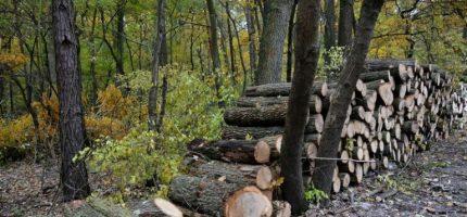 Wycinka drzew w Lesie Młochowskim budzi niepokój