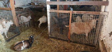 Nielegalna hodowla i ubój kóz w Nadarzynie