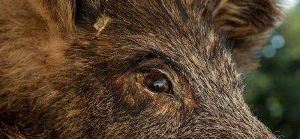 Uwaga na dziki w Milanówku