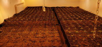 Plantacja marihuany zlikwidowana