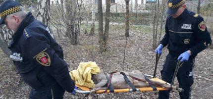 Strażnicy pomogli koziołkowi
