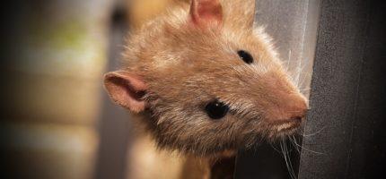 Mieszkańcy alarmują: szczury w blokach na Sienkiewicza