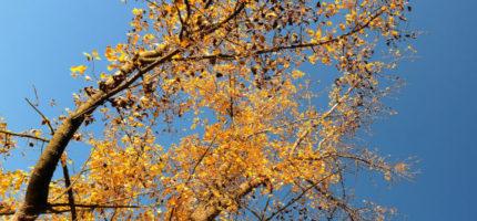 Grodzisk usunie drzewa zagrażające mieszkańcom