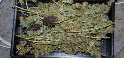 Zlikwidowana uprawa konopi w Grodzisku. Policja przejęła prawie 460 gramów marihuany [FOTO]